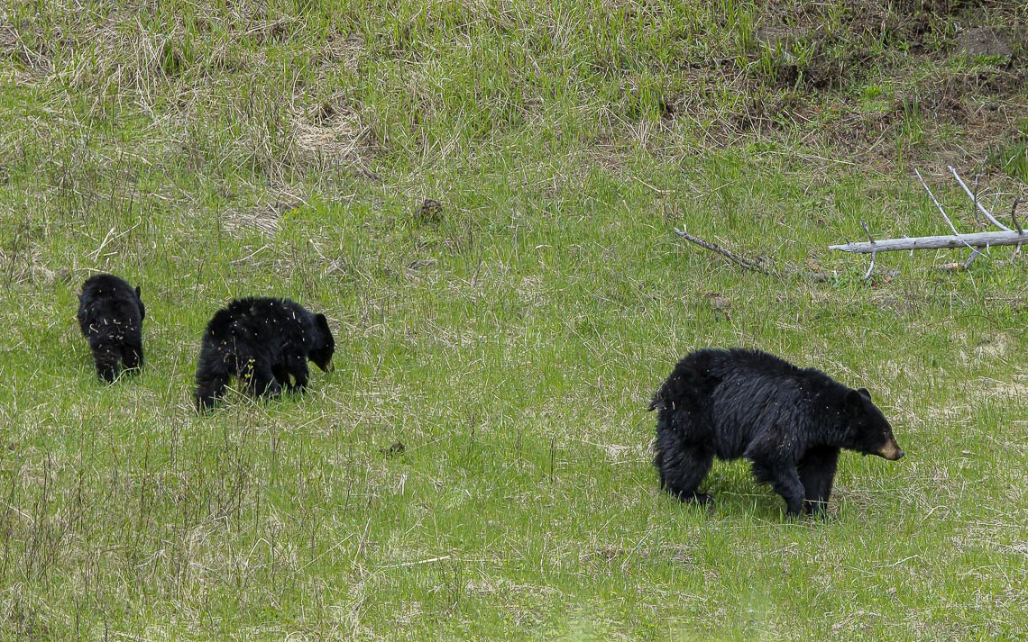 A Black Bear Mother And Her Three Older Cubs In Yellowstone Nati