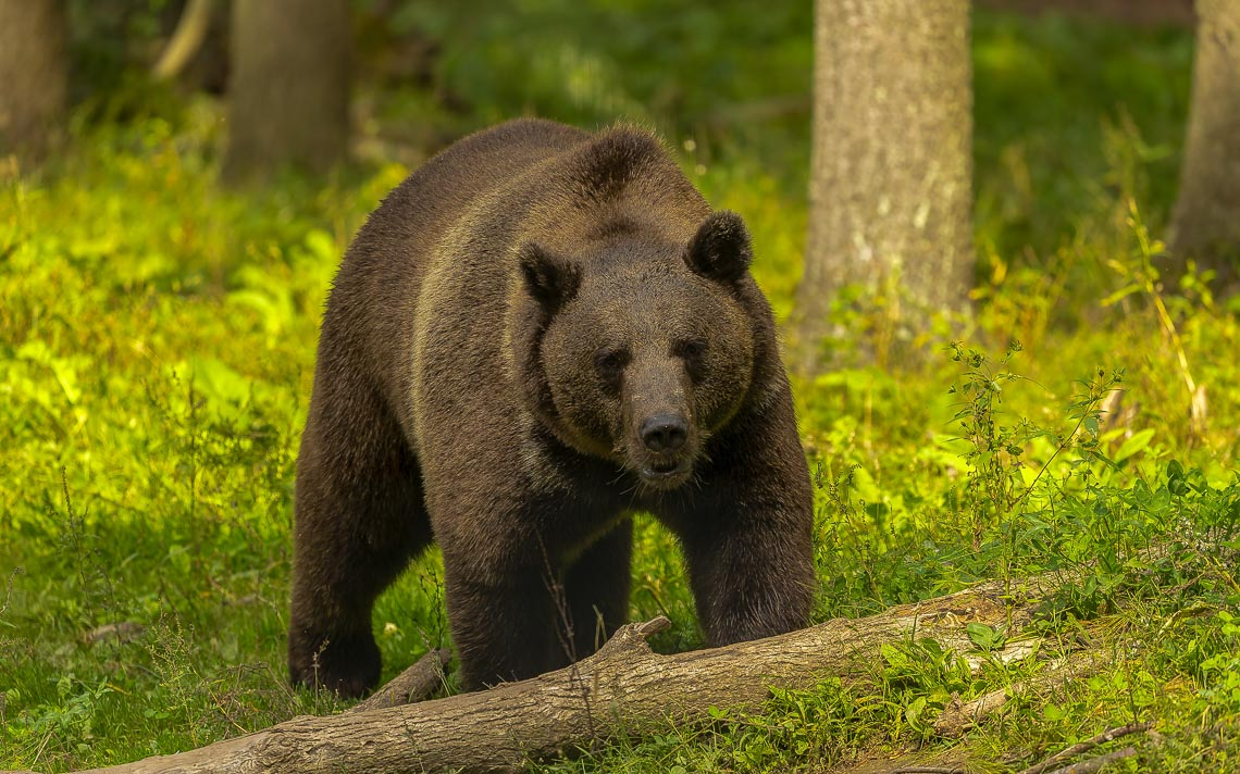 The Grizzly Bear (ursus Arctos) Is North American Brown Bear. G