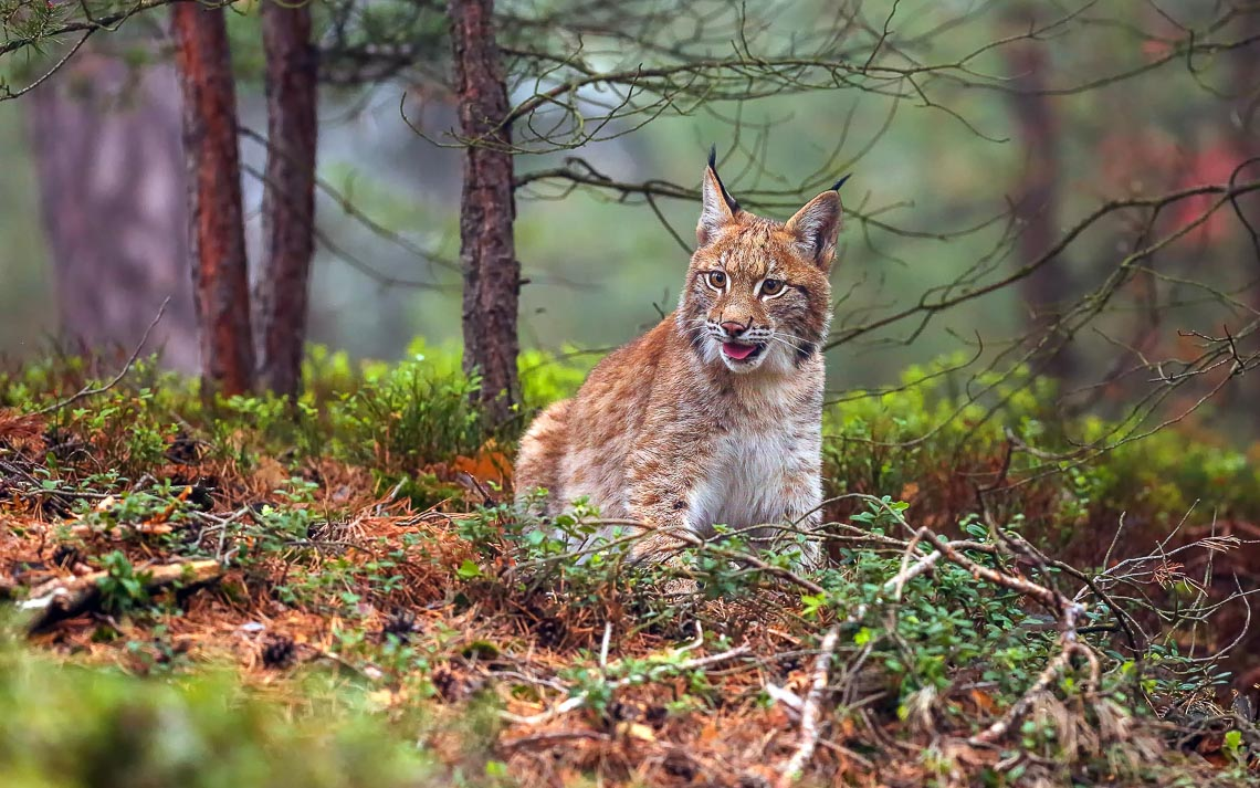 The Eurasian Lynx (lynx Lynx), Also Known As The European Lynx O